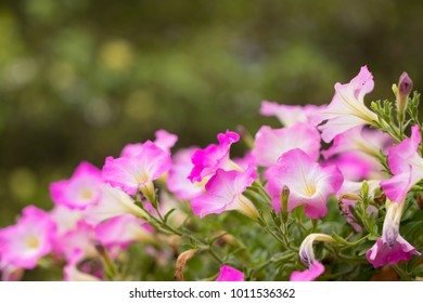 Colourful petunia. Flowerbed with pink petunias (Petunia hybrida) flowers.  soft focus for background or greeting card with copy space.