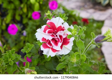 Colourful petunia. Flowerbed with red petunia (Petunia hybrida) flowers.