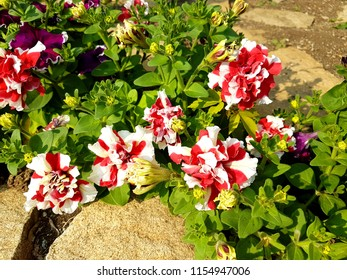 Colourful petunia. Flowerbed with red petunias (Petunia hybrida) flowers.