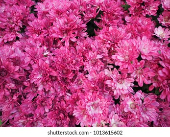 colourful pink chrysanthemums flowers