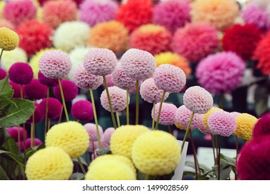 Colourful pompon and decorative dahlias on display