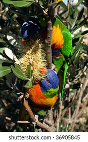 Colourful Rainbow Lorikeets eating the nectar from an Australian native flower