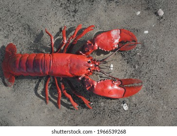 Colourful red crayfish isolated on sand background. Panoramic image, copy space. Animals, nature, wildlife, science, zoology, biology, educational toys for kids. Play, joy, fun concepts