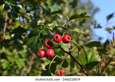 Colourful red hawthorn berries with green leaves on tree, fortifying herbal remedy for heart