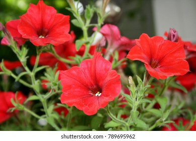 Colourful red petunia in garden. Red petunia (Petunia hybrida) flowers close up. Beautiful red flowers in pot for landscape design of garden, soft focus. Scarlet garden flowers in summer july macro