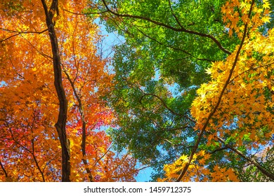 Colourful red and yellow maple leafe under the maple tree during autumn in South Korea,Maple red background. - Shutterstock ID 1459712375