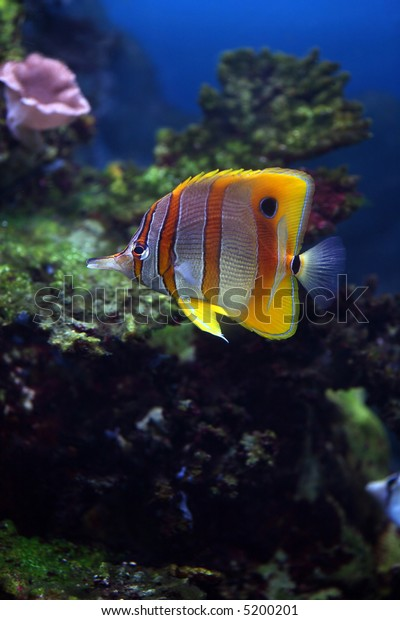 Colourful Sixspine butterflyfish floats in an aquarium