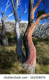 Colourful Snow Gum, Perisher Valley, Kosciuszko National Park, NSW, Australia