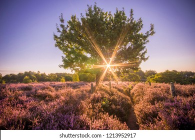 Colourful sunrise heather landscape with sun rays shining through the branches of a tree located in the middle of a purple heather field at the National Park Hoge Veluwe, Netherlands