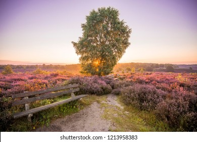 Colourful sunrise heather landscape with sun rays shining through the branches of a tree located in the middle of a purple heather field  with a bench at the National Park Hoge Veluwe, Netherlands