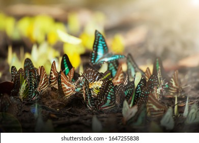 Colourful a swarm of butterflies feeding on salt lick at sunrise. Pang Sida National Park, Thailand. Close-up. Selective focus.
