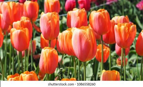 Colourful tulip fields in spring/ Abbotsford, British Columbia, Canada