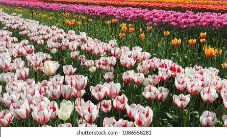 Colourful tulip fields in spring/ Abbotsford, British Columbia, Canada
