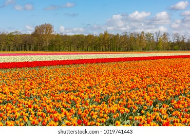 A colourful tulipfield near Lisse in Holland