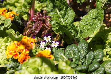 Colourful Vegetable Garden with edible Viola flowers in focus surrounded by Spinach, Lettuce and Silverbeet.