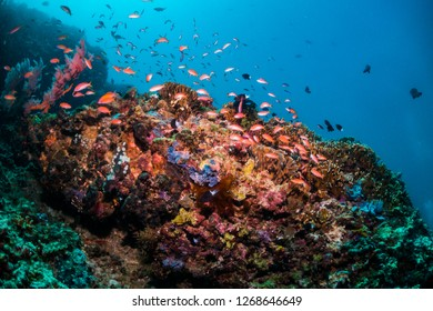 Colourful and vibrant reef scene with tiny tropical reef fish swimming together around the coral against a blue background with sunlight shining through the surface of the ocean