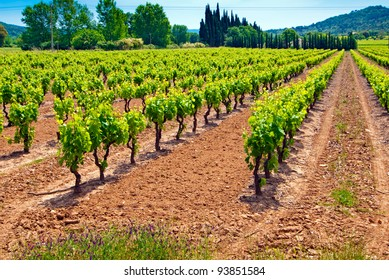 Colourful Vineyard in Provence -  France.