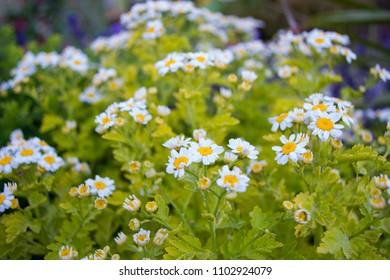 Colourful Wild Daisies