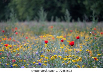 Colourful wild flowers in blues, reds and yellows growing in parkland surrounded by trees, photographed in early morning in Gunnersbury, West London UK.