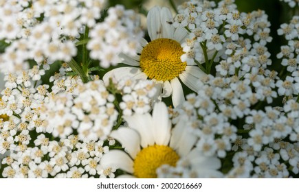 Colourful wild flowers including chamomile daisies and cow parsley, photographed in Gunnersbury, Chiswick, west London, UK.