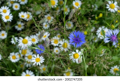 Colourful wild flowers, including chamomile daisies and cornflowers, photographed in a meadow in Gunnersbury, Chiswick, west London, UK.