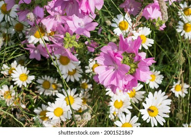 Colourful wild flowers, including pink vervain mallow and white chamomile daisies, photographed in a meadow in Gunnersbury, Chiswick, west London, UK.