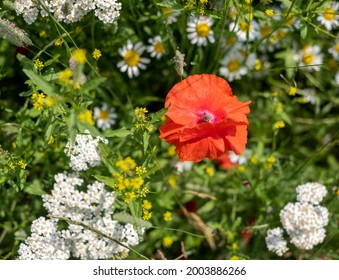 Colourful wild flowers, including poppy, chamomile daisies and cow parsley, photographed in a wild flower meadow in Gunnersbury, Chiswick, west London, UK.