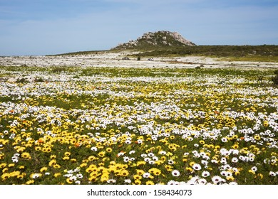 Colourful wild flowers near Cape Town. These pop up every spring all along the West Coast of South Africa.