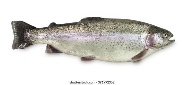 Colourful wild rainbow trout isolated on a white background in banner format