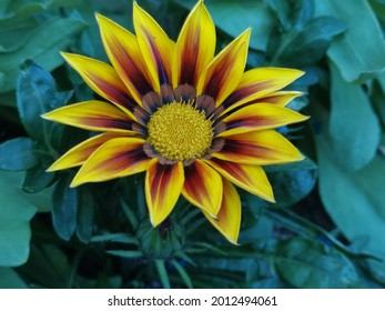 A colourful yellow treasure flower with a pretty green background of plants