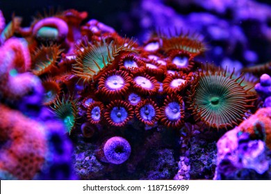 Colourful zoanthus colony polyps in saltwater reef aquarium