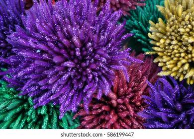 Colourfull Edelweiss, The Eternal Flower