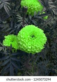 Colourfull  floer of marigold