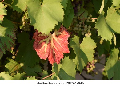 Colourfull vine leaves, with some grapes in the background