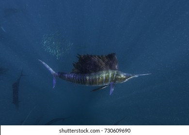 Colours of an Atlantic sailfish when it is hunting, Isla Mujeres, Mexico.