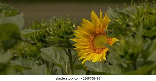 Colours of Summer. Sunflower in a Sunflower-Field