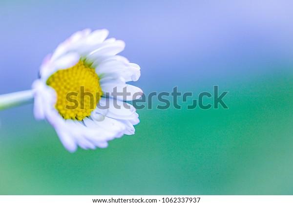 Colours of wild daisy