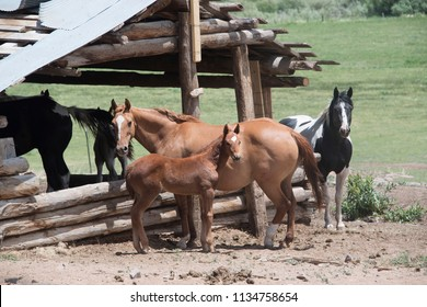 Colt filly baby horse with sorrel mother mama horse and paint horse in old log cabin stable  See large preview Delete