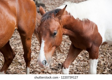 Colt standing near to his mother in the dry leaf covered pasture