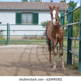 a colt tied in the stable on the italian farm