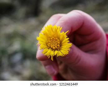 Coltsfoot flower in a little caucasian girls hand up close with shallow depth of field at spring outdoors