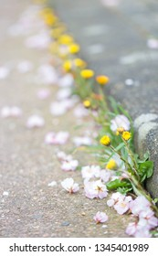 Coltsfoot flowers grow along the border. Sakura petals are scattered on the road. Spring time.