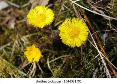 Coltsfoot flowers in Spring