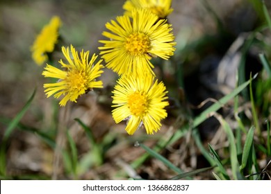 Coltsfoot flowers (Tussilago Farfara) in spring forest on a sunny day