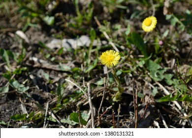 Coltsfoot flowers (Tussilago Farfara) in springtime lit by sun