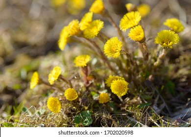 Coltsfoot or foalfoot medicinal wild herb. Farfara Tussilago plant growing in the field. Young flower used as medication ingredients. Meadow spring blooming grass. Group of beautiful yellow flowers.