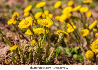 coltsfoot foalfoot selective focus close-up, horizontal photo of yellow coltsfoot head colors. medical herbs early spring sunny yellow flowers