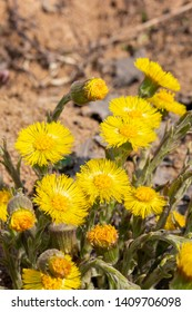 coltsfoot foalfoot vertical photo close-up, beautiful large flowers coltsfoot yellow bright sunny, medical herbs. Yellow flowers with a lot of petals and a bright round heart