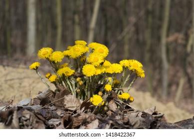 Coltsfoot in forest (Tussilago farfara). Bukovina, Ukraine