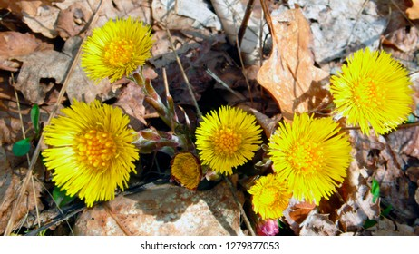 Coltsfoot growing wild in West Virginia, USA